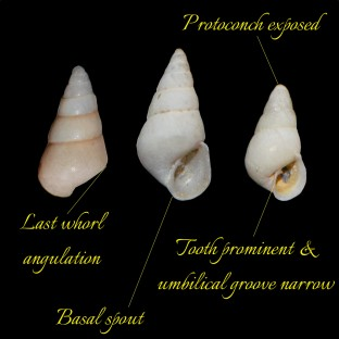 Odostomia unidentata 1732