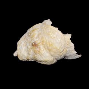 Anomia ephippium on whelk 1359